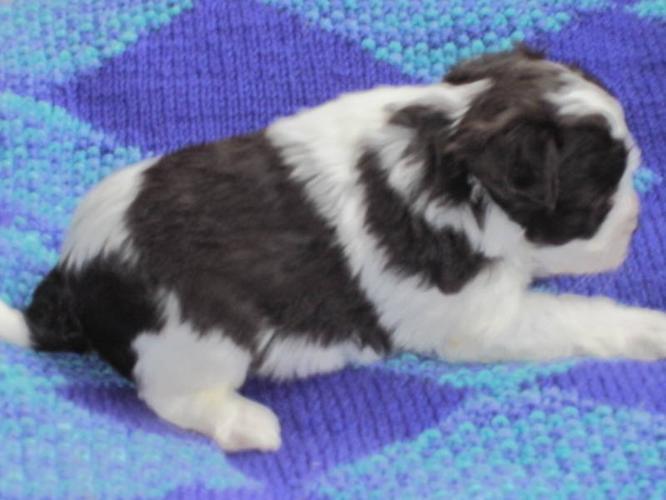 Stunningly Marked Female CKC Reg. Miniature Schnauzer Puppy