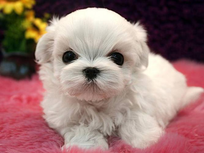 *??*T-CUP PURE BREED MALTESE PUPPIES*??*