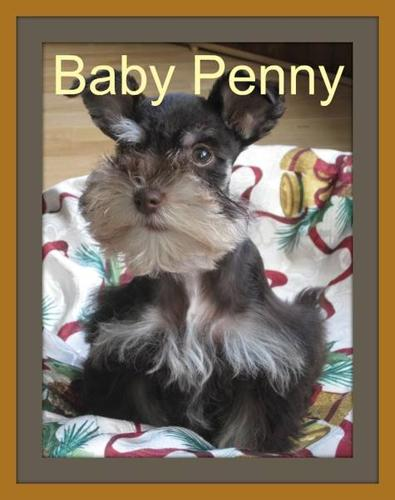 Teacup Female CKC Registered Miniature Schnauzer Puppy
