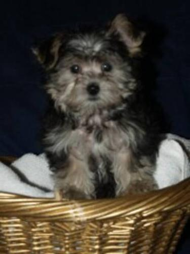 TEACUP MORKIE for sale in Mission, British Columbia - Nice pets in