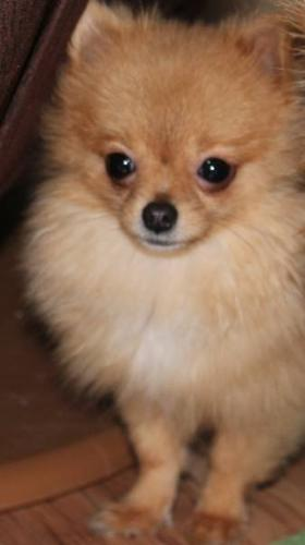 teacup pomeranian full grown size teacup pomeranian full size 3067