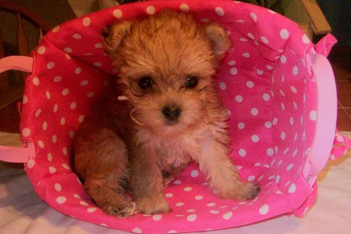 Teddy-Bear MORKIE Puppies! for sale in Quebec Canada