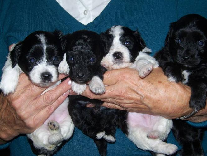 Teddybear Yorkie Chon Puppies For Sale In St Thomas Ontario Nice