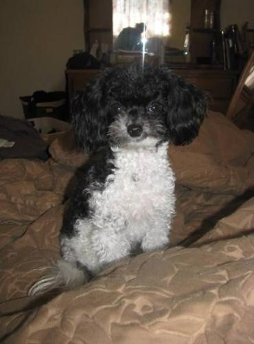 Teeny Tiny Toy Poodle 35lbs For Sale In Burlington Ontario