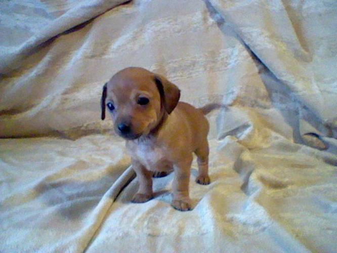 Long Haired Chiweenie Puppies For Sale | Dog Breeds Picture