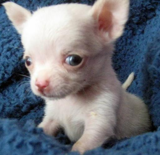 TINY MICRO Chihuahua Puppies TOP QUALITY GUARANTEED!!!