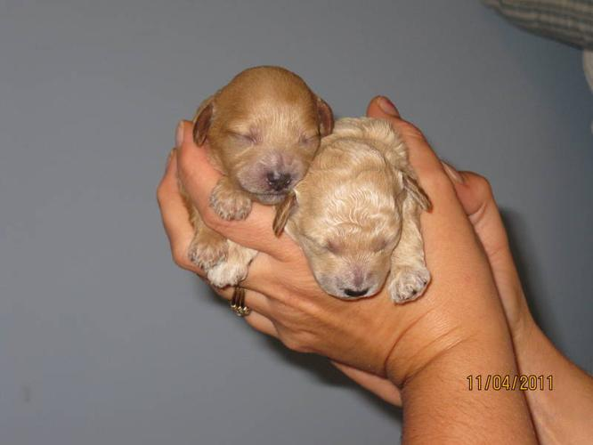 Tiny Toy Poodle Puppies For Sale In Thunder Bay Ontario