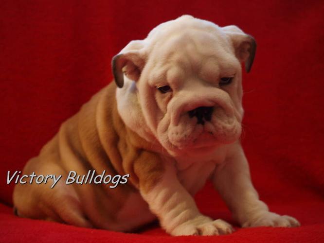 Top Quality English Bulldog Pups CKC Reg'd 3 puppies left for sale