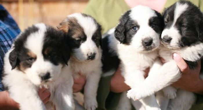 Tornjak Puppies in Canada for sale in Carstairs, Alberta - Nice pets