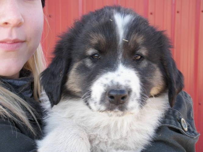 Tornjak Puppies only 1 left