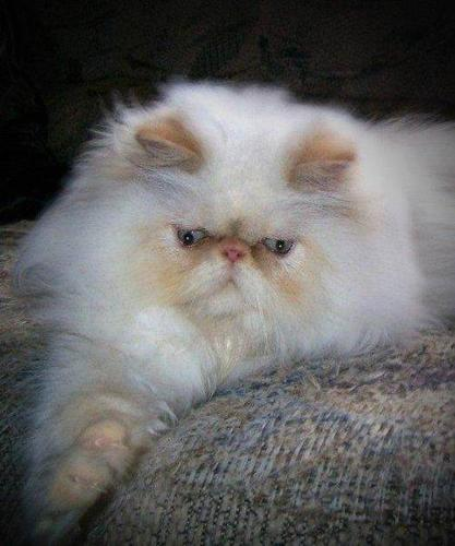Tortie Point Himalayan