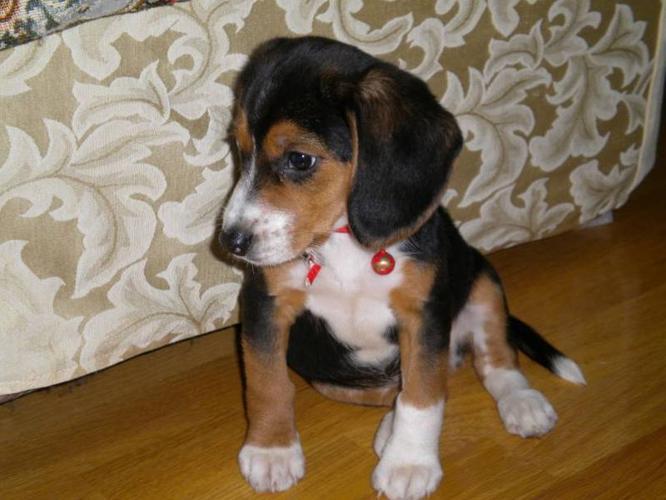 Tri-color Beagle Puppy