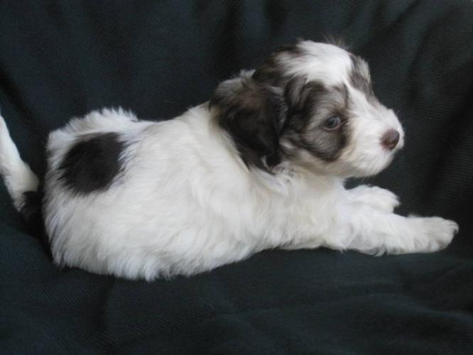 Tri Coloured CKC Registered Male Miniature Schnauzer Puppy
