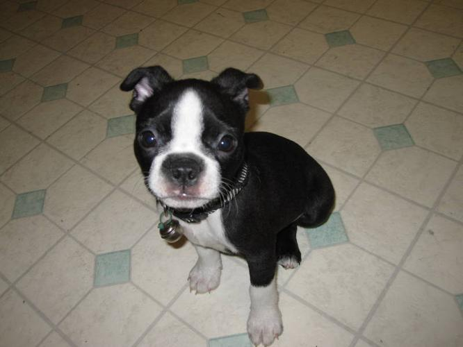 TWO BOSTON TERRIER PUPPIES *