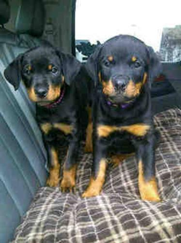 Two female rotty pups for sale, must rehome asap!