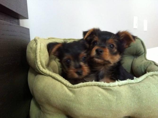 Two Toy Size Pure Breed Yorkie Yorkshire Terrier Puppy S For Sale In