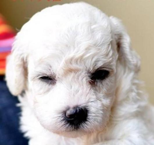 very cute sweet toy poodles puppies finding a good home