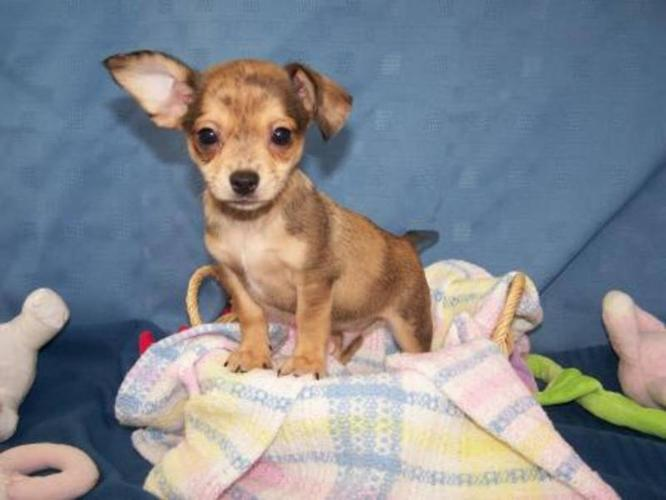 Very sweet ?Chiweenie? puppies ? Delivery to Calgary Sunday for sale