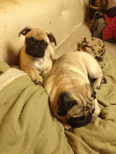 Wanted: PURE BRED PUGGIE MALE...AWESOME