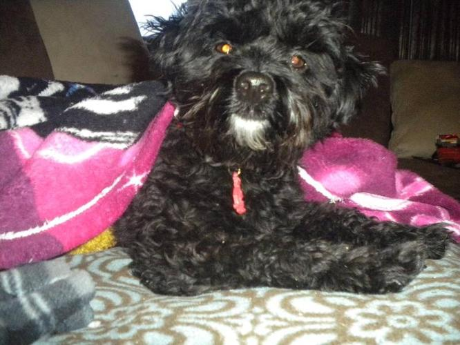 Wanted: Shihpoo looking for that special boy (exchange pick of litter)