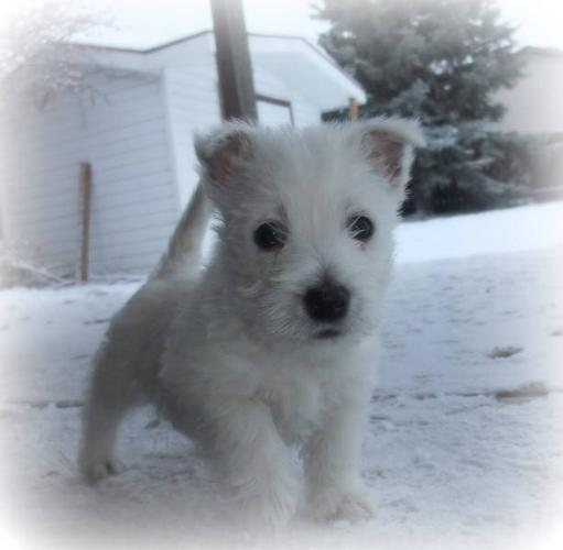 West Highland Terrier Puppies for sale in Regina