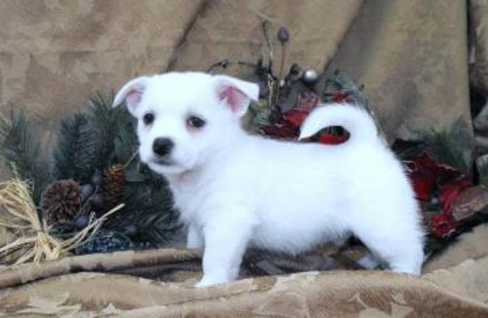 West Highland White Terrier x Shih tzu puppies