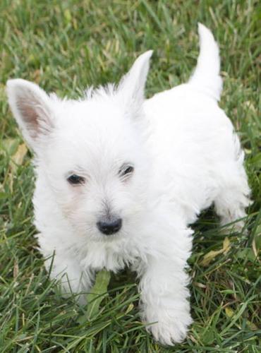 Westie Puppies! for sale in Beamsville, Ontario - Nice pets