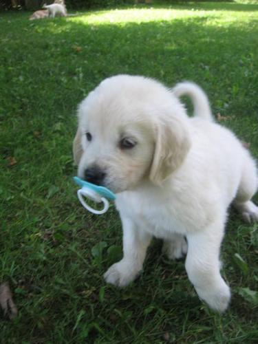 White Golden Retriever Puppies For Sale In Campbellville Ontario