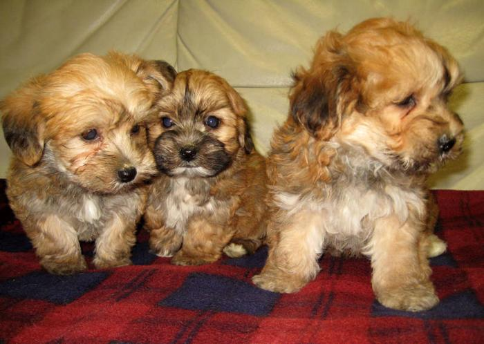 Yorkie / Bichon puppies, one male left