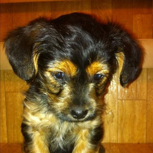 Yorkie Poo Puppies Price Reduced For Sale In Ardrossan