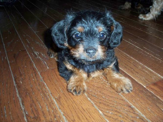 Yorkie Poo Puppy Needs A Home For Sale In Leamington Ontario