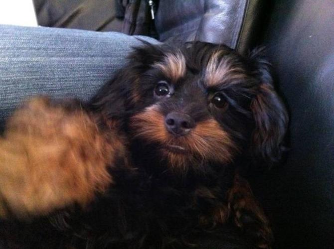 Can Adult yorkie poo picture congratulate