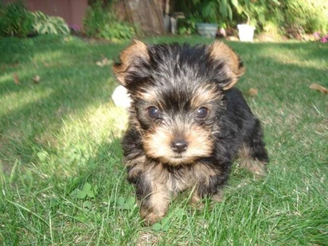 Yorkie Pups - Little pups with big personalities