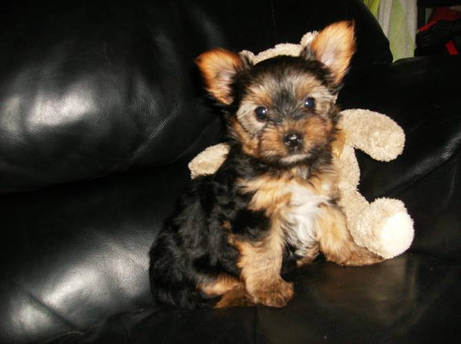 yorkshire biewer for sale in loretto ontario nice pets