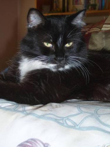 Young Female Cat - Domestic Medium Hair-black and white: