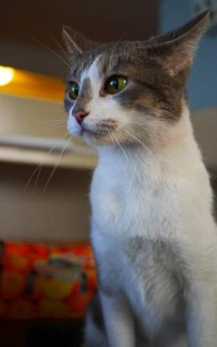 Young Female Cat - Domestic Short Hair - gray and white: