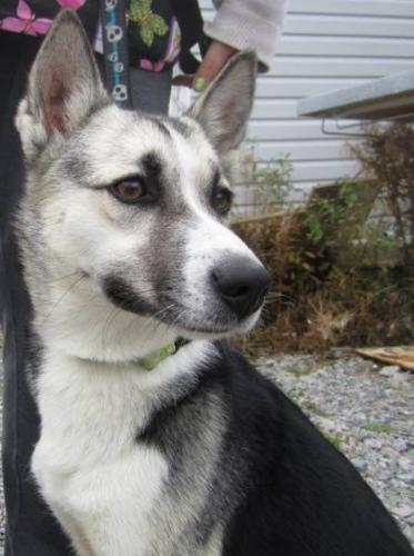 Young Female Dog - Husky Whippet: