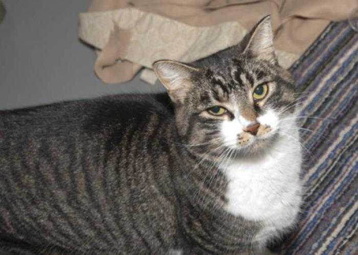 Young Male Cat - American Shorthair: