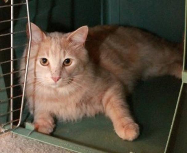 Young Male Cat - Domestic Medium Hair-orange: