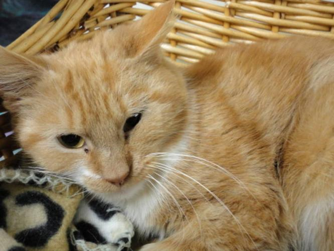 Young Male Cat - Domestic Short Hair - orange and white