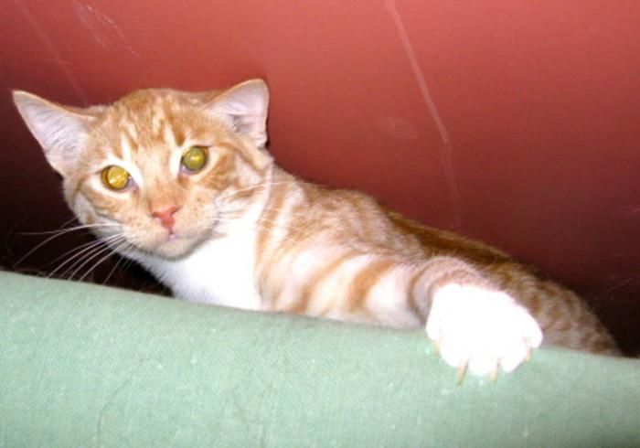 Young Male Cat - Domestic Short Hair: