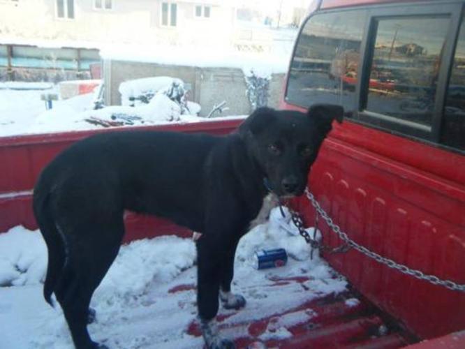 Young Male Dog - Black Labrador Retriever Husky: