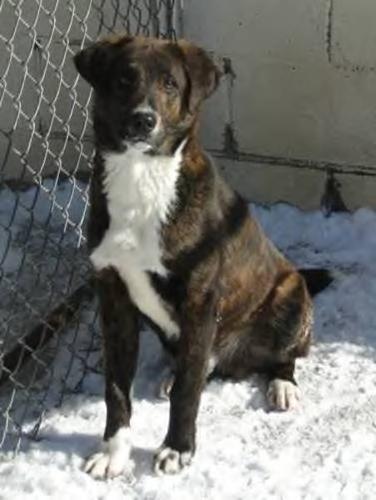 Young Male Dog - Boxer Labrador Retriever:
