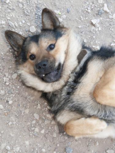 Young Male Dog - Chow Chow German Shepherd Dog: