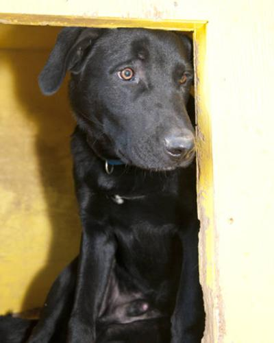 Young Male Dog - Labrador Retriever: