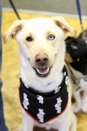 Young Male Dog - Labrador Retriever Husky: