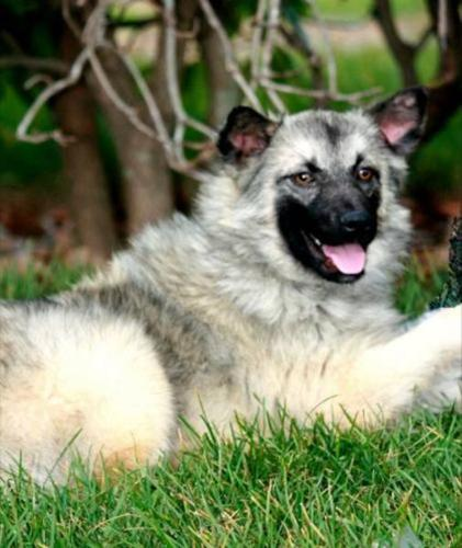 Young Male Dog - Norwegian Elkhound: