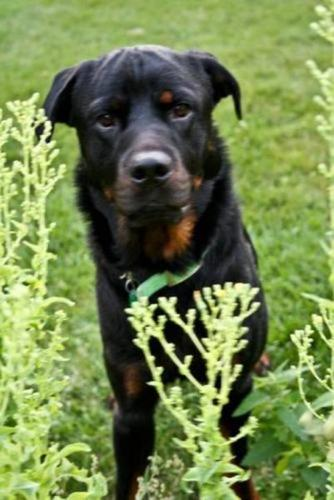 Young Male Dog - Rottweiler: