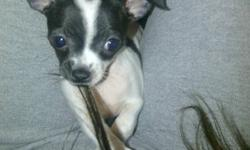 3 pure bread short haired chihuahua puppies, Born September 26, 2011 in need of good homes.  Im asking $400 cash / puppy.  Price includes all their first shots & checkups.  The 2 black ones are males, and the white and black female.  All 3 puppies are