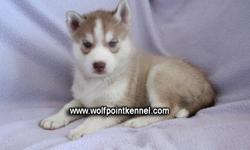 1 Siberian Husky Puppy left! 1 Red/White Male   Our puppies will go to there new homes with  - First set of needles - Deworm x3 - Spayed or neutered (before they leave Wolf Point Kennel ) - Health Guarentee - Puppy Pack - Canadian Kennel Club Registration
